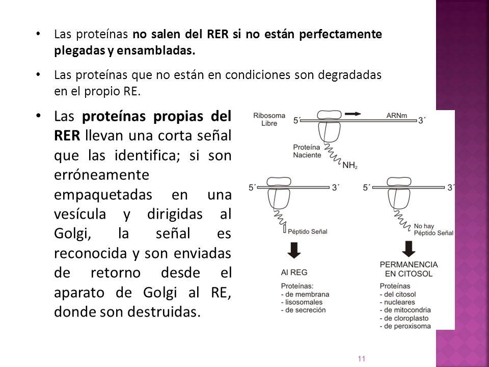 Las proteínas no salen del RER si no están perfectamente plegadas y ensambladas.