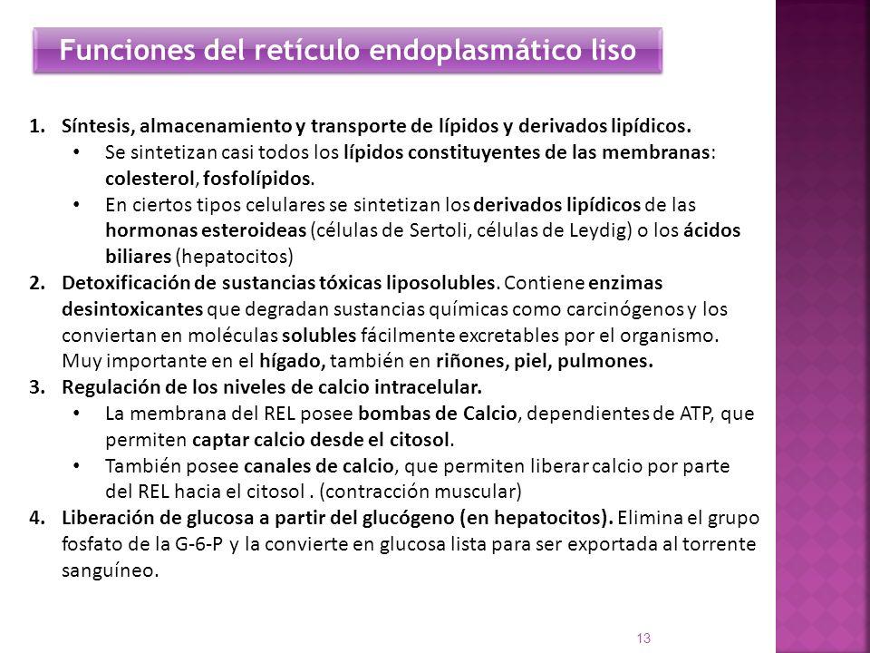 Funciones del retículo endoplasmático liso