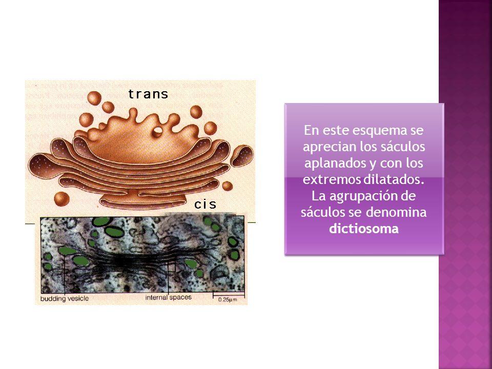 La agrupación de sáculos se denomina dictiosoma