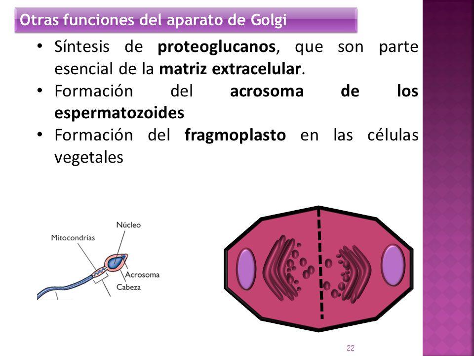 Formación del acrosoma de los espermatozoides