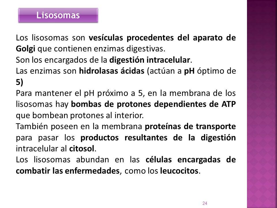 Lisosomas Los lisosomas son vesículas procedentes del aparato de Golgi que contienen enzimas digestivas.