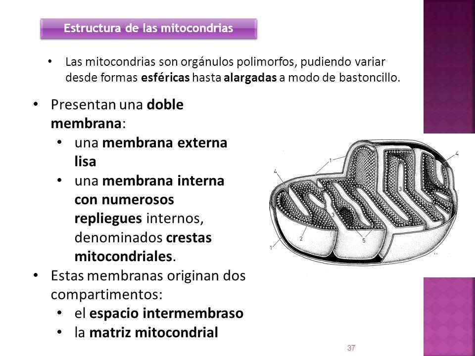 Estructura de las mitocondrias