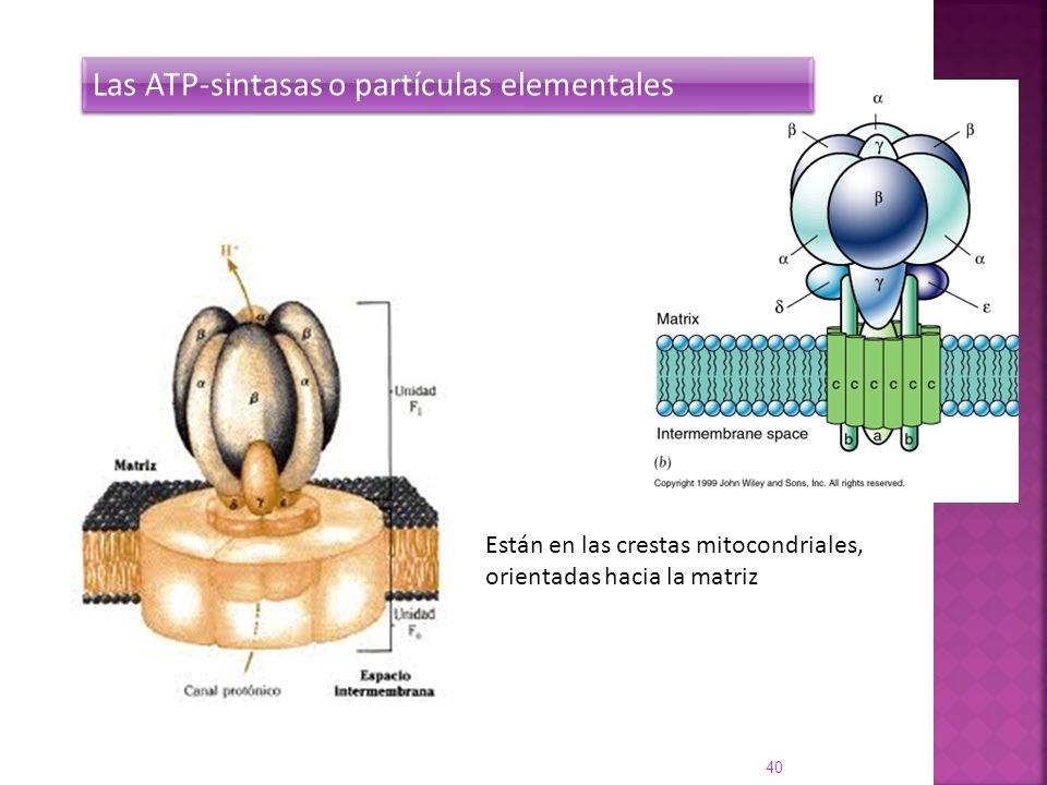 Las ATP-sintasas o partículas elementales