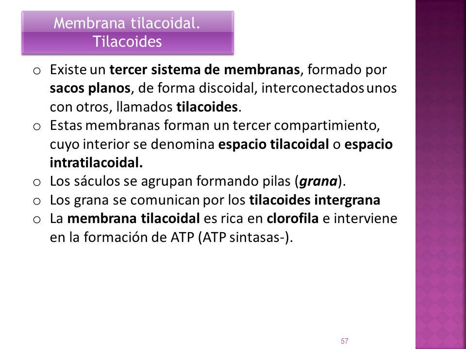 Membrana tilacoidal. Tilacoides.