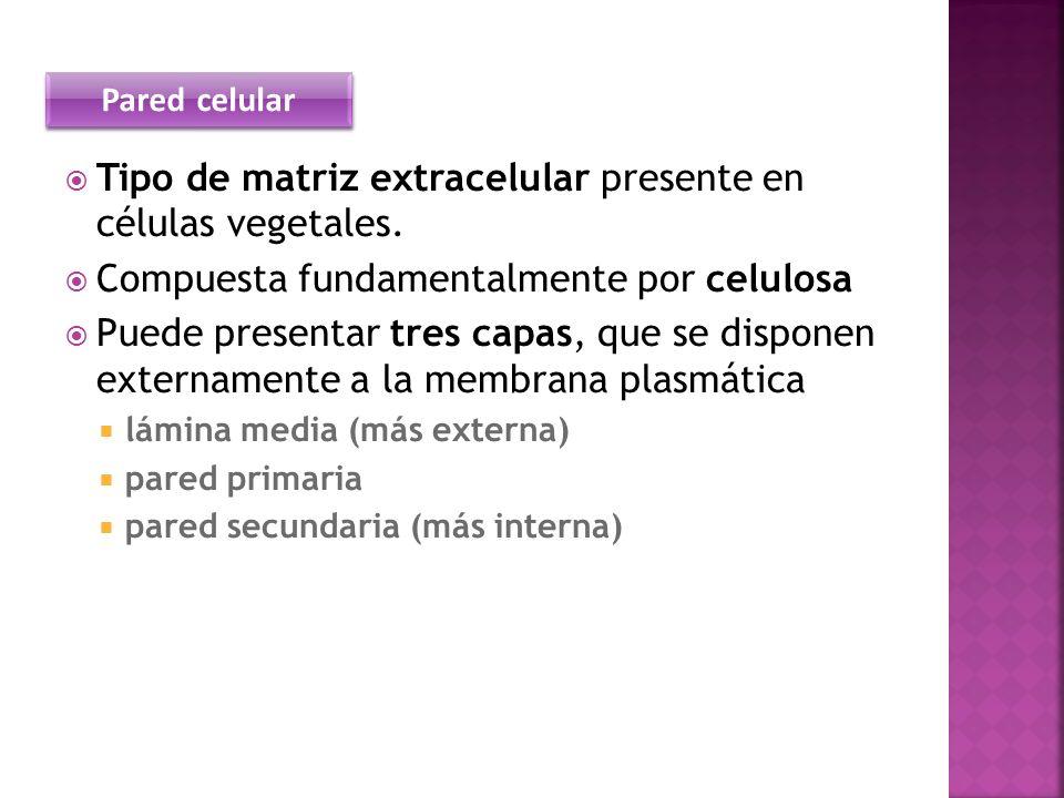 Tipo de matriz extracelular presente en células vegetales.