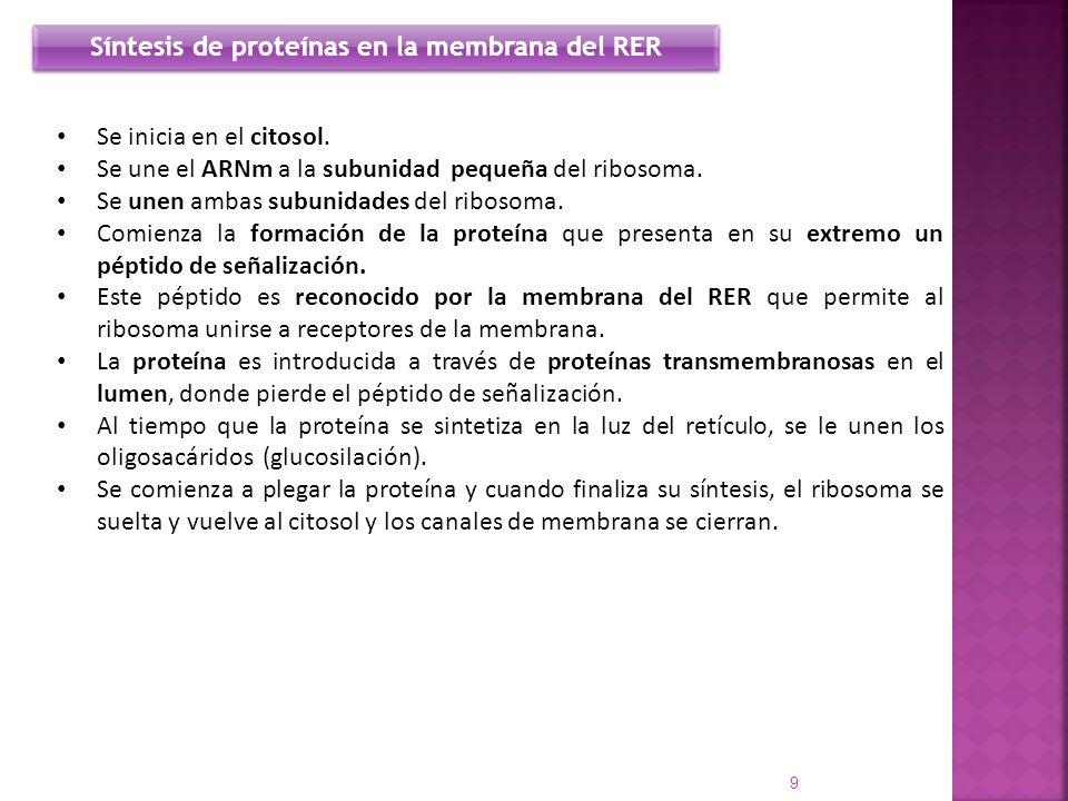 Síntesis de proteínas en la membrana del RER