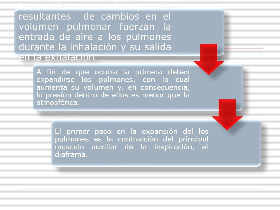 Las diferencias de presión resultantes de cambios en el volumen pulmonar fuerzan la entrada de aire a los pulmones durante la inhalación y su salida en la exhalación.