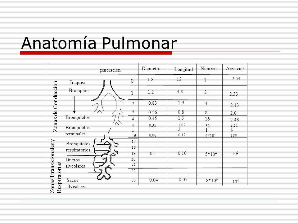 Anatomía Pulmonar Zonas de Conduccion 1