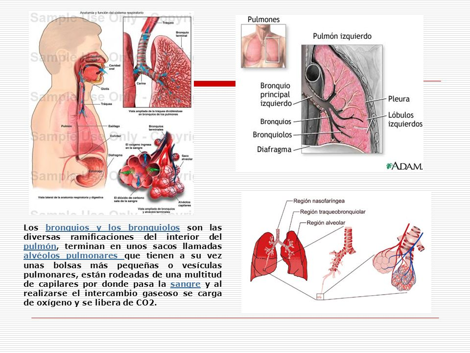 Los bronquios y los bronquiolos son las diversas ramificaciones del interior del pulmón, terminan en unos sacos llamadas alvéolos pulmonares que tienen a su vez unas bolsas más pequeñas o vesículas pulmonares, están rodeadas de una multitud de capilares por donde pasa la sangre y al realizarse el intercambio gaseoso se carga de oxígeno y se libera de CO2.