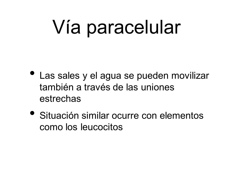 Vía paracelularLas sales y el agua se pueden movilizar también a través de las uniones estrechas.