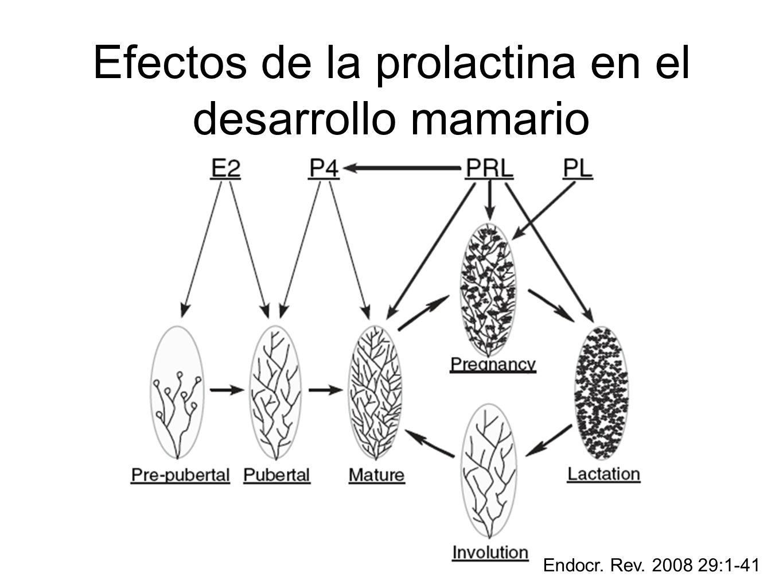 Efectos de la prolactina en el desarrollo mamario