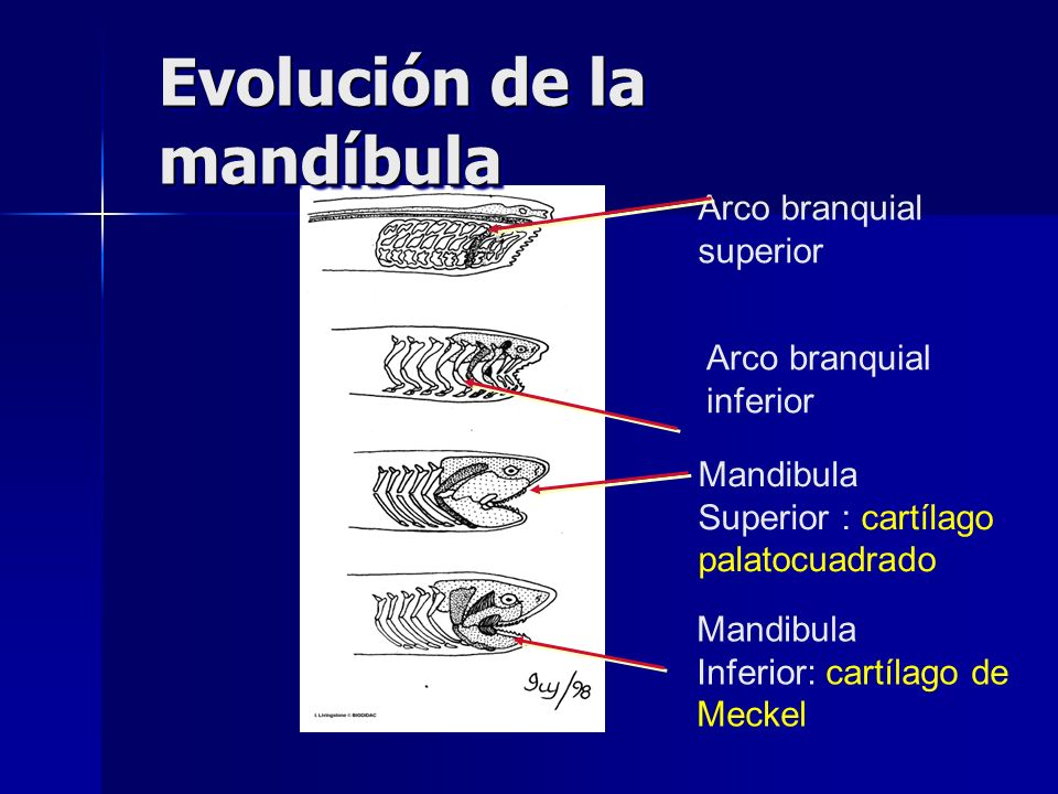 Evolución de la mandíbula