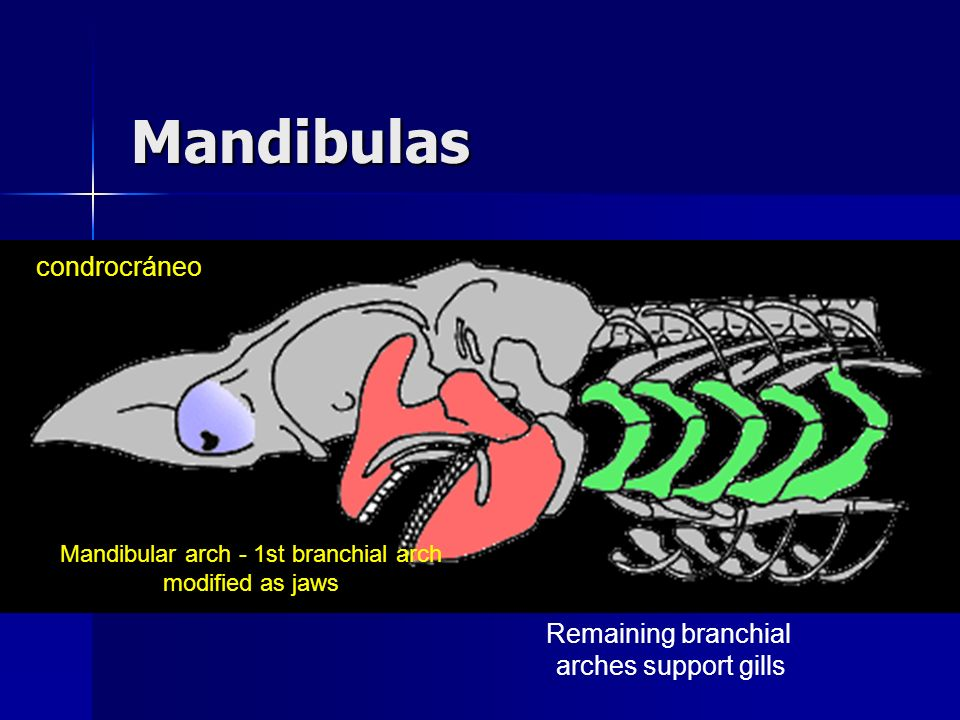 Mandibular arch - 1st branchial arch