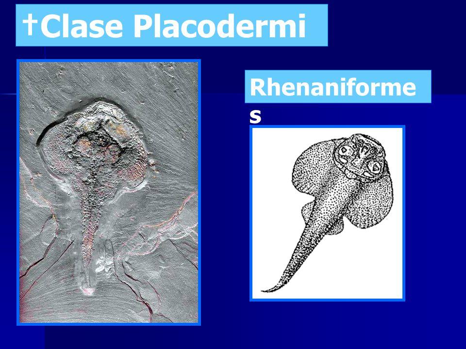 †Clase Placodermi Rhenaniformes