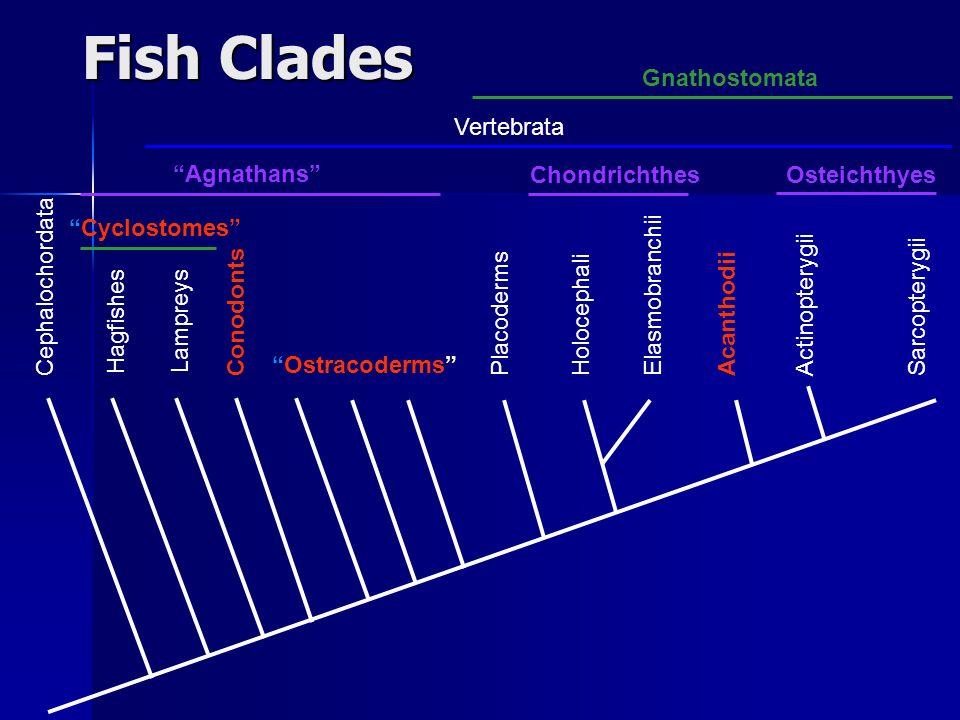 Fish Clades Gnathostomata Vertebrata Agnathans Chondrichthes