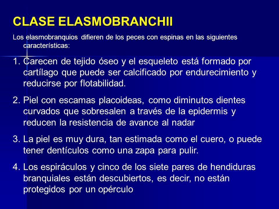 CLASE ELASMOBRANCHII Los elasmobranquios difieren de los peces con espinas en las siguientes características: