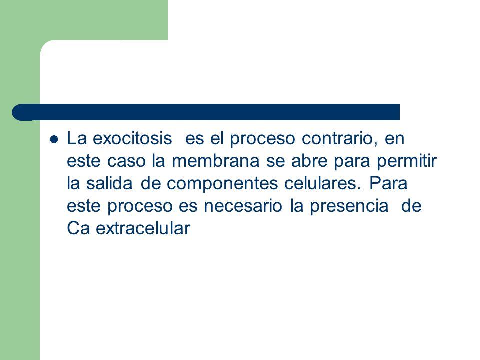 La exocitosis es el proceso contrario, en este caso la membrana se abre para permitir la salida de componentes celulares.