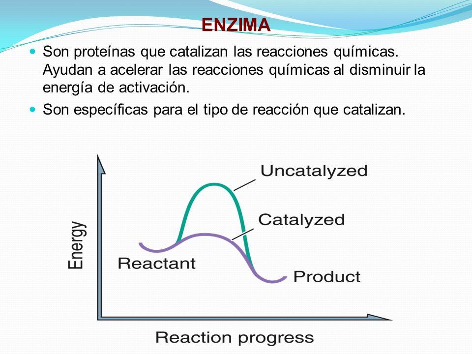 ENZIMA Son proteínas que catalizan las reacciones químicas. Ayudan a acelerar las reacciones químicas al disminuir la energía de activación.