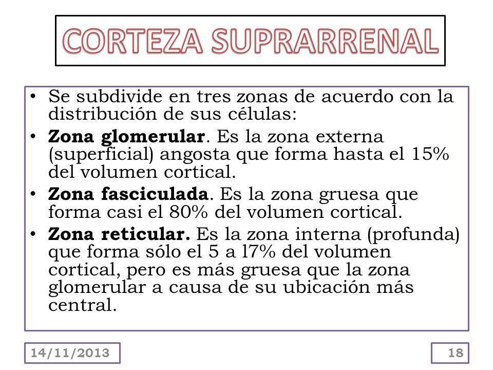 CORTEZA SUPRARRENALSe subdivide en tres zonas de acuerdo con la distribución de sus células: