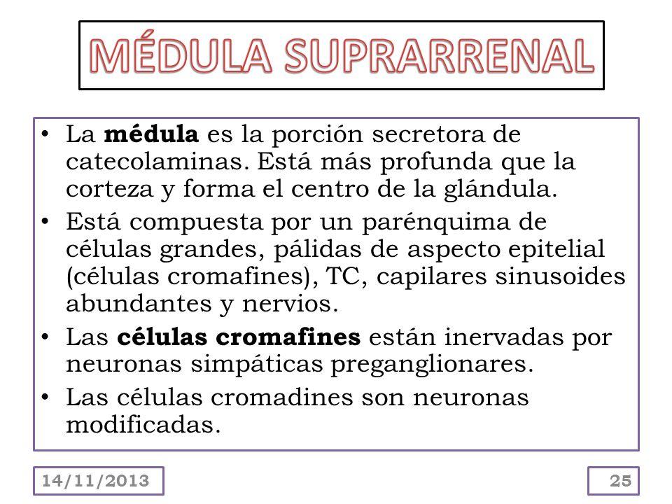 MÉDULA SUPRARRENALLa médula es la porción secretora de catecolaminas. Está más profunda que la corteza y forma el centro de la glándula.