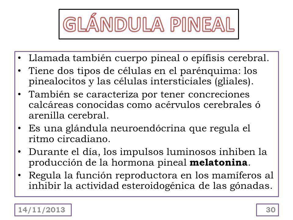 GLÁNDULA PINEAL Llamada también cuerpo pineal o epífisis cerebral.