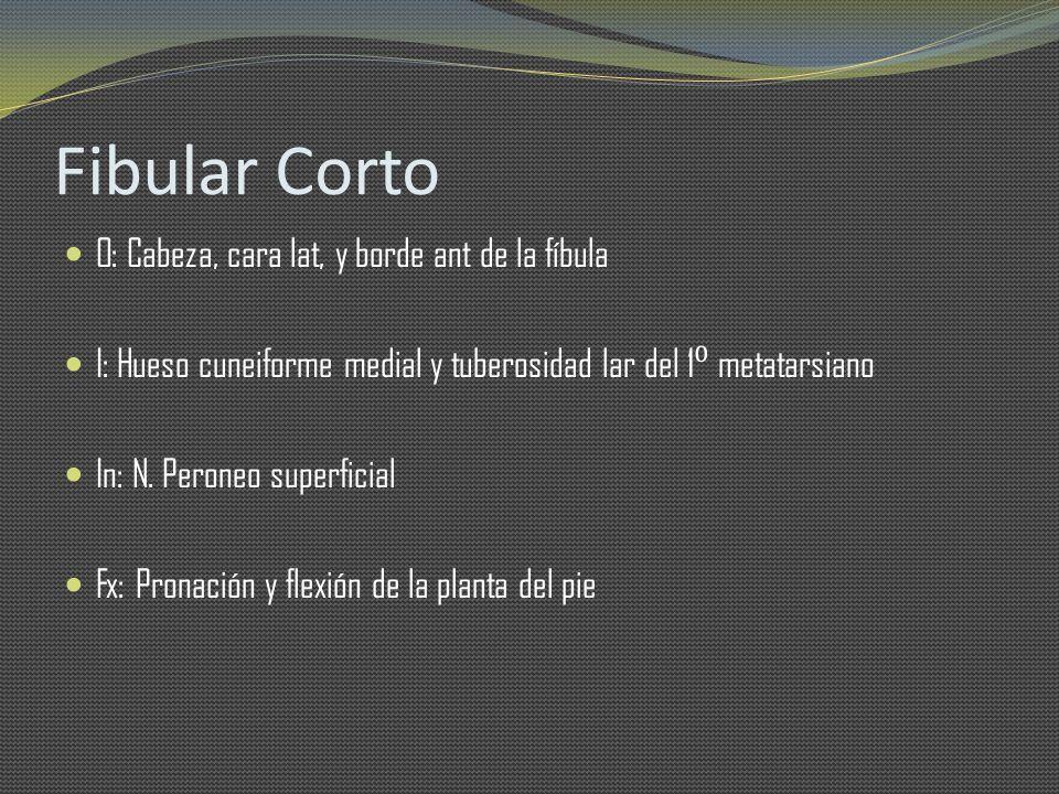 Fibular Corto O: Cabeza, cara lat, y borde ant de la fíbula