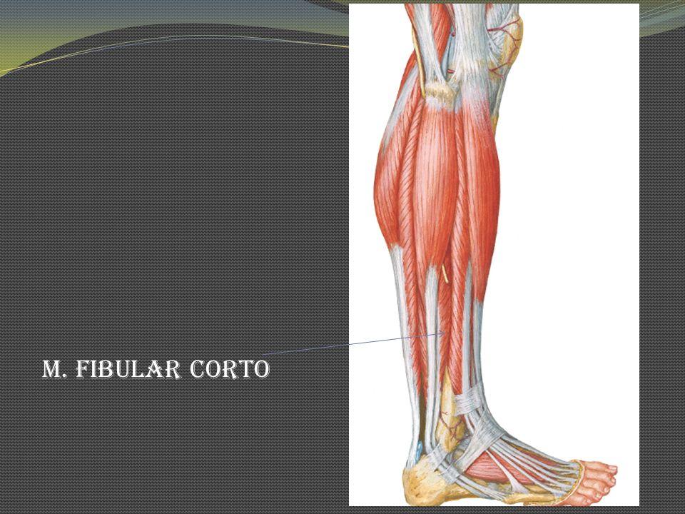 M. Fibular Corto