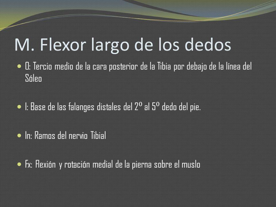 M. Flexor largo de los dedos