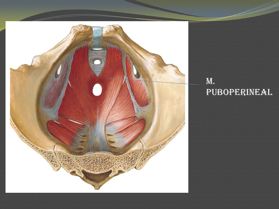 M. Puboperineal
