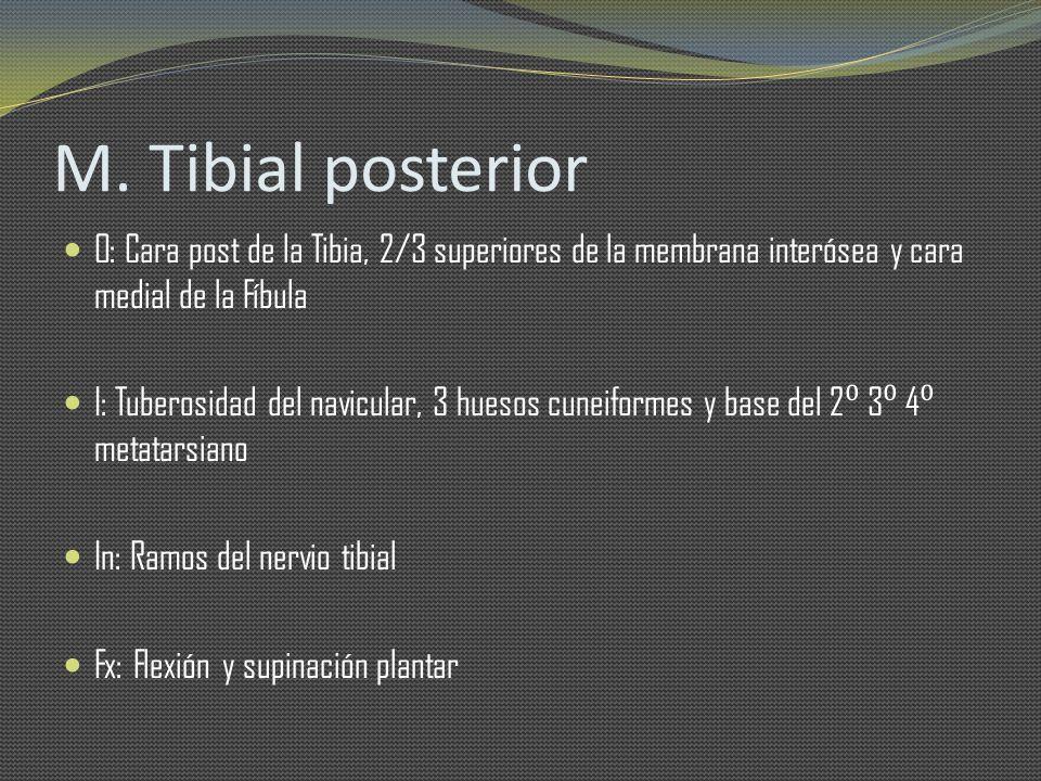 M. Tibial posterior O: Cara post de la Tibia, 2/3 superiores de la membrana interósea y cara medial de la Fíbula.
