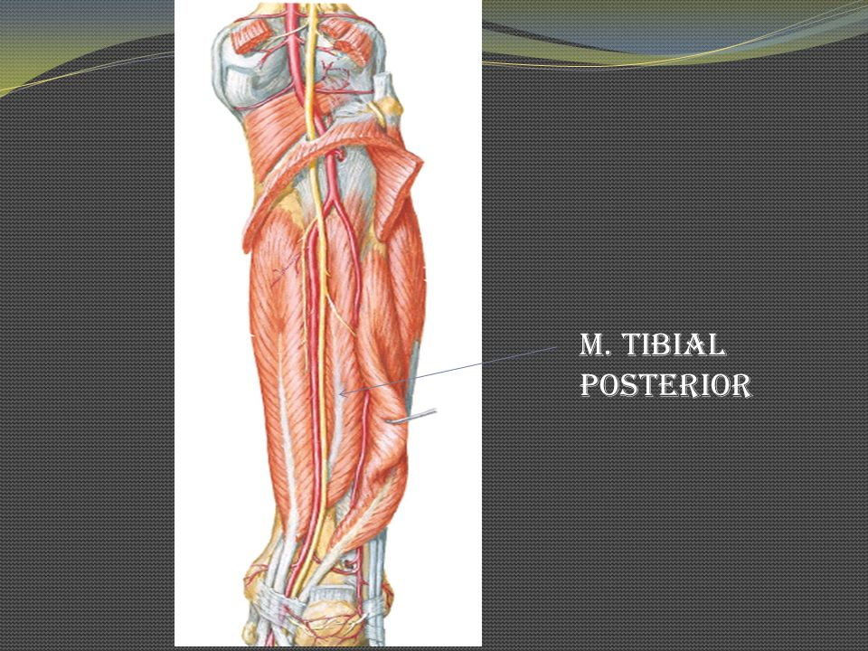 M. Tibial Posterior