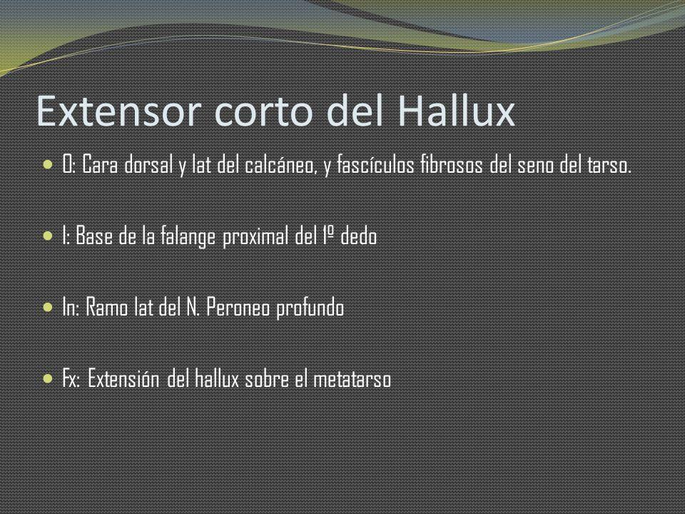 Extensor corto del Hallux