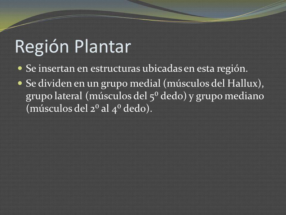 Región Plantar Se insertan en estructuras ubicadas en esta región.