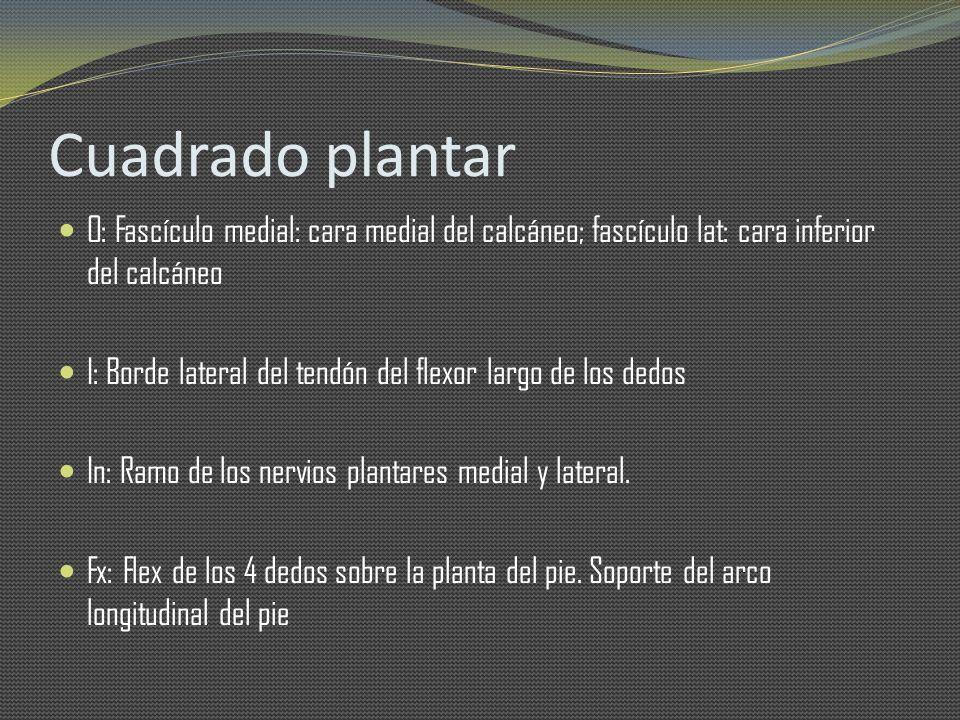 Cuadrado plantar O: Fascículo medial: cara medial del calcáneo; fascículo lat: cara inferior del calcáneo.