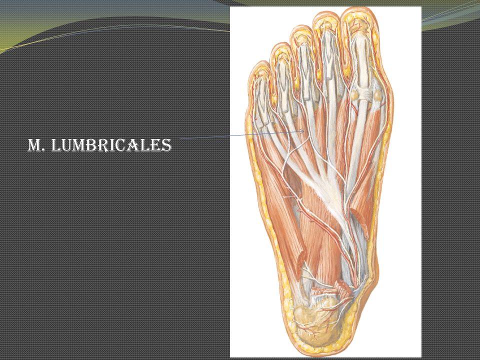 M. Lumbricales