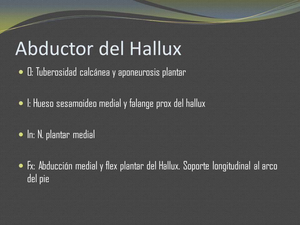 Abductor del Hallux O: Tuberosidad calcánea y aponeurosis plantar