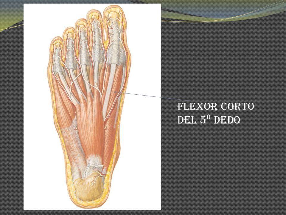 Flexor corto del 5⁰ dedo