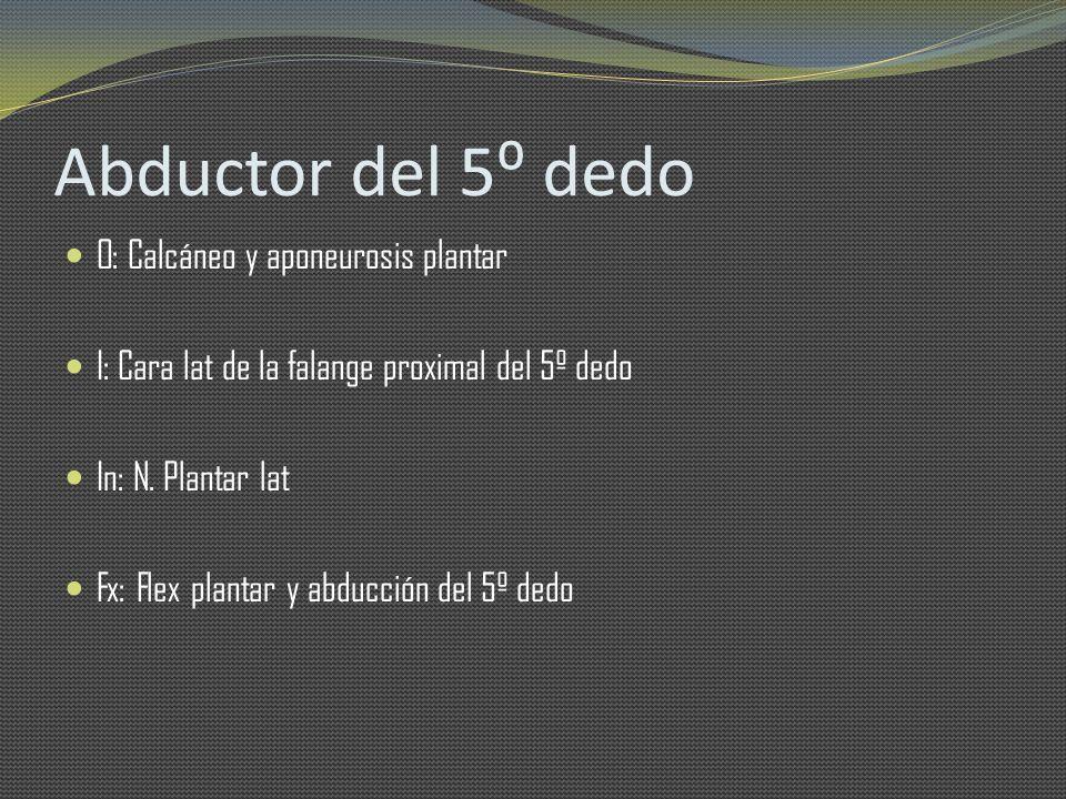 Abductor del 5⁰ dedo O: Calcáneo y aponeurosis plantar