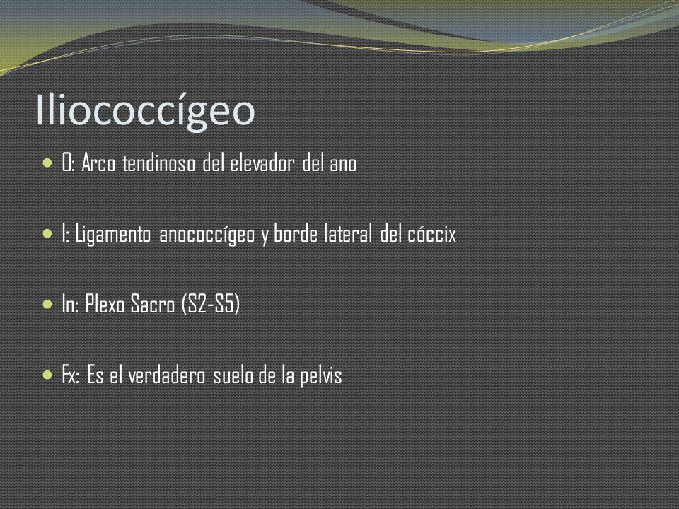 Iliococcígeo O: Arco tendinoso del elevador del ano