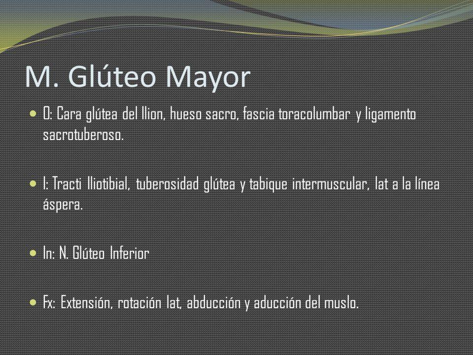 M. Glúteo Mayor O: Cara glútea del Ilion, hueso sacro, fascia toracolumbar y ligamento sacrotuberoso.