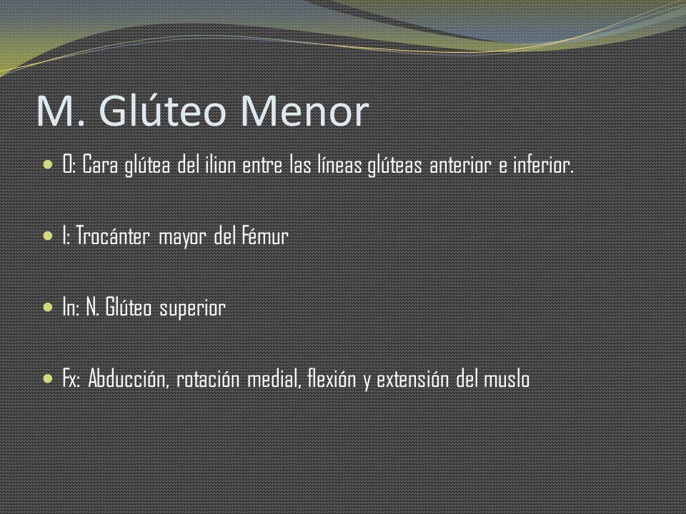 M. Glúteo Menor O: Cara glútea del ilion entre las líneas glúteas anterior e inferior. I: Trocánter mayor del Fémur.