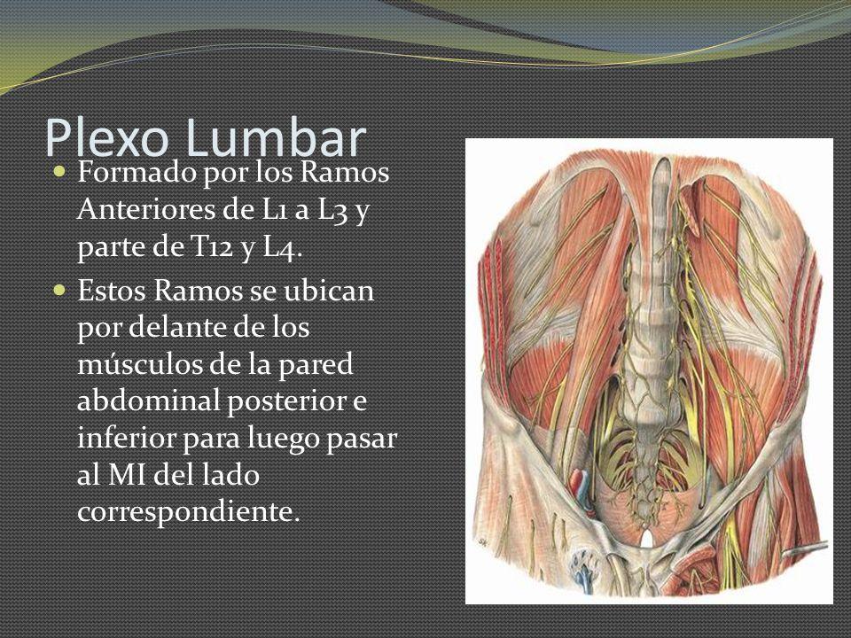 Plexo Lumbar Formado por los Ramos Anteriores de L1 a L3 y parte de T12 y L4.