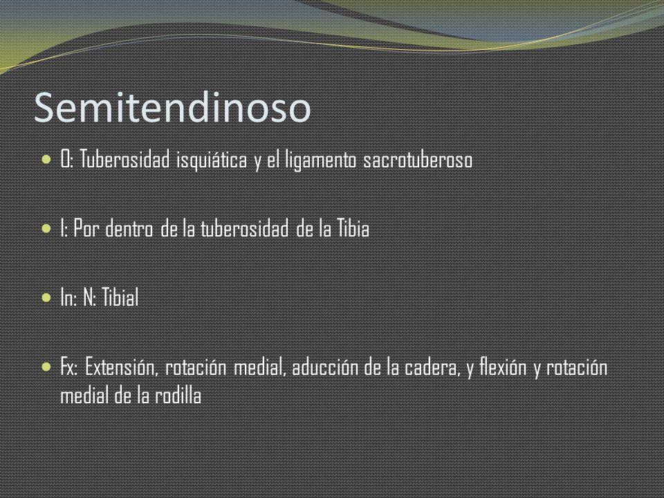 Semitendinoso O: Tuberosidad isquiática y el ligamento sacrotuberoso