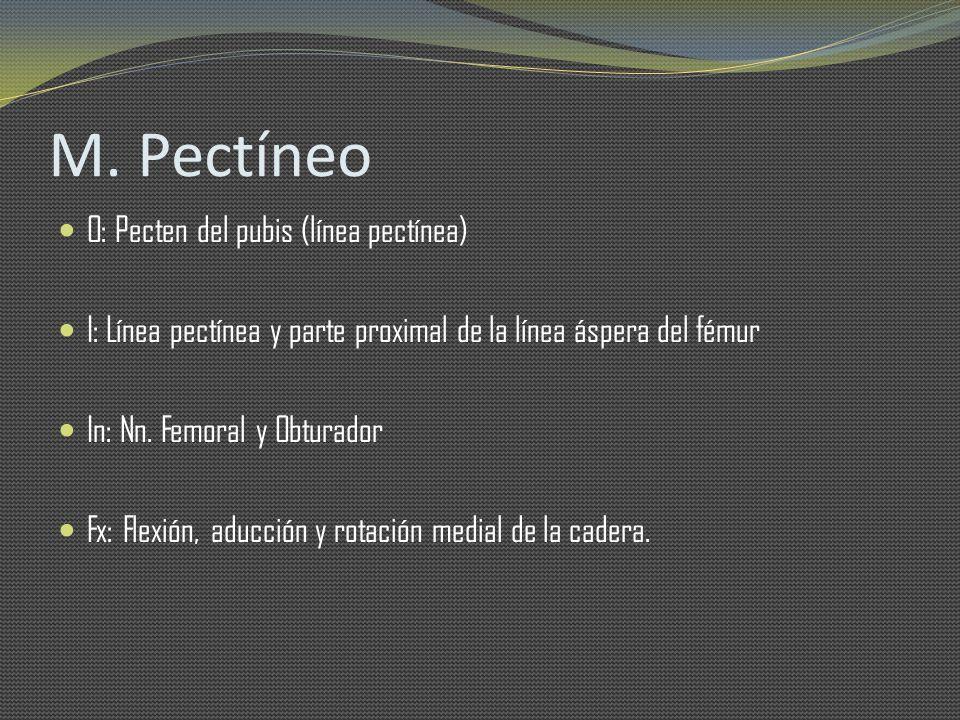 M. Pectíneo O: Pecten del pubis (línea pectínea)