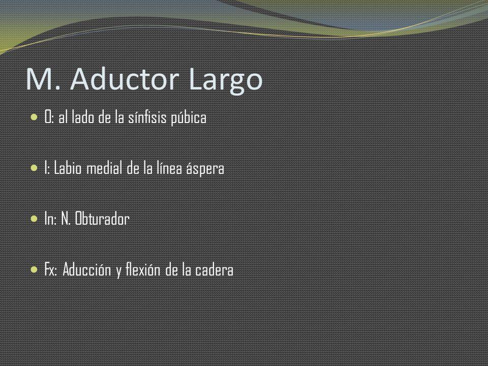 M. Aductor Largo O: al lado de la sínfisis púbica