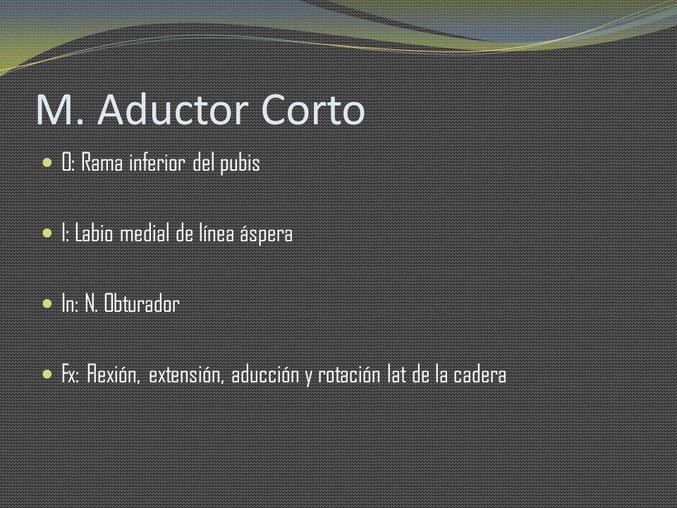 M. Aductor Corto O: Rama inferior del pubis