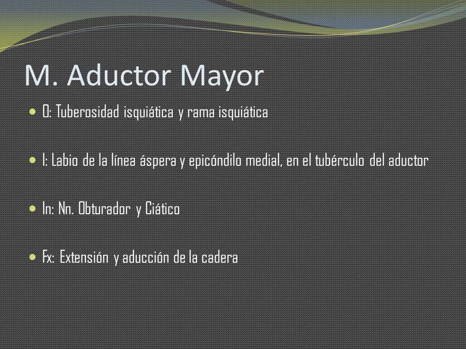 M. Aductor Mayor O: Tuberosidad isquiática y rama isquiática