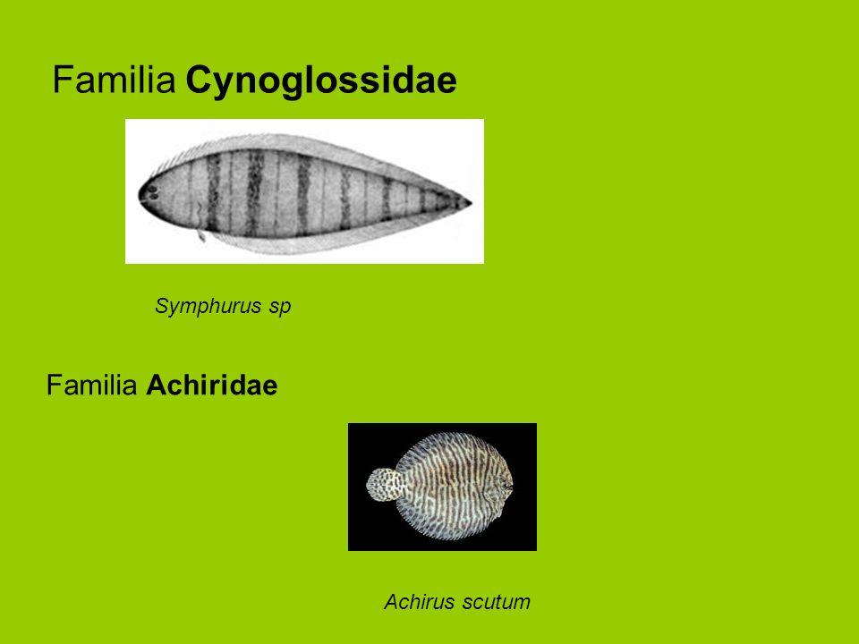Familia Cynoglossidae