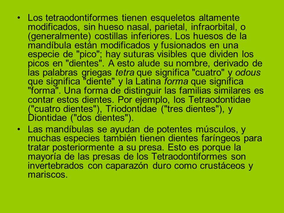 Los tetraodontiformes tienen esqueletos altamente modificados, sin hueso nasal, parietal, infraorbital, o (generalmente) costillas inferiores. Los huesos de la mandíbula están modificados y fusionados en una especie de pico ; hay suturas visibles que dividen los picos en dientes . A esto alude su nombre, derivado de las palabras griegas tetra que significa cuatro y odous que significa diente y la Latina forma que significa forma . Una forma de distinguir las familias similares es contar estos dientes. Por ejemplo, los Tetraodontidae ( cuatro dientes ), Triodontidae ( tres dientes ), y Diontidae ( dos dientes ).