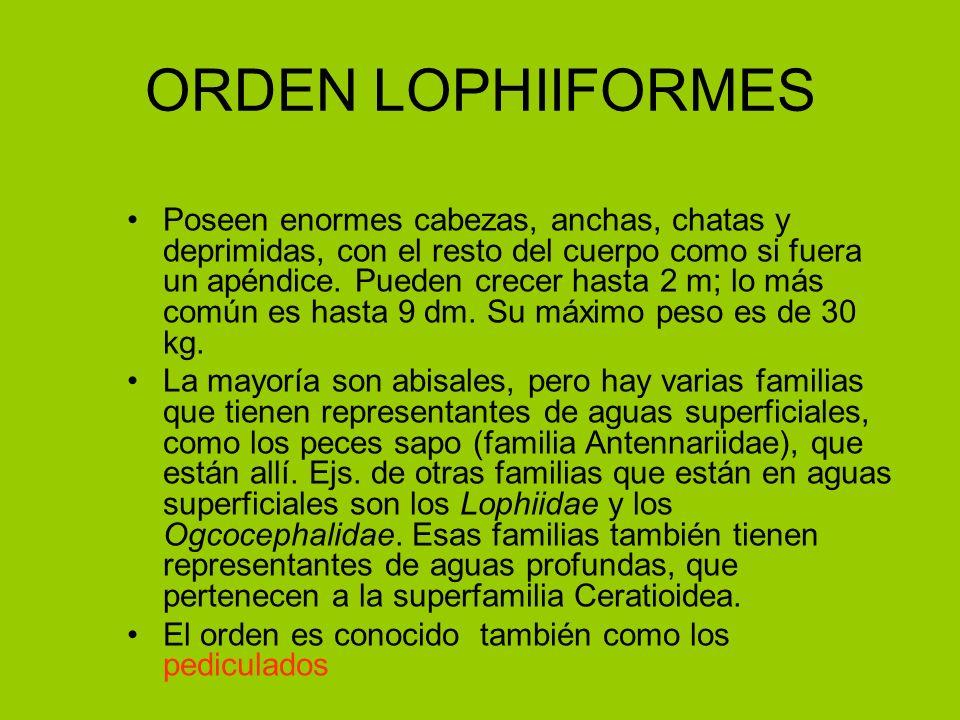 ORDEN LOPHIIFORMES